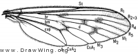 Eucyrtopogon, wing