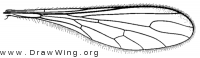 Leptopteromyia americana, wing
