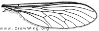 Leptogaster cylindrica, wing