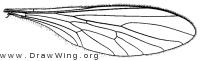 Psilonyx annulatus, wing
