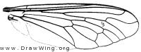 Laphystia sexfasciata, wing