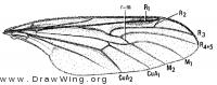 Axymyia furcata, wing