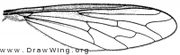 Systropus macer, wing