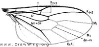 Glabellula crassicornis, wing