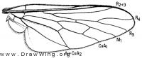 Oligodranes cincturus, wing
