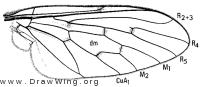Phthiria sulphurea, wing