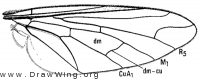 Geron albarius, wing