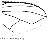 Opsodexia serva, wing tip