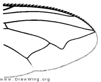 Acrophaga genarum, wing tip