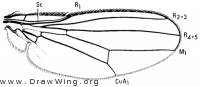 Canacea macateei, wing