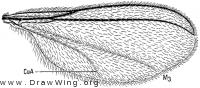 Asynapta, wing