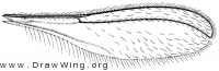 Isocolpodia graminis, wing
