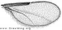 Neolasioptera erigerontis, wing