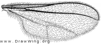 Cecidomyia resinicola, wing