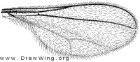 Contarinia schulzi, wing