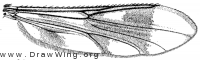 Heteromyiafasciata, wing