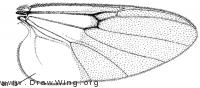 Jenkinshelea magnipennis, wing