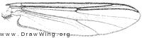 Chironomus riparius, wing