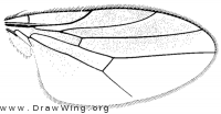 Gaurax festivus, wing