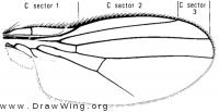 Dicraeus incongruus, wing