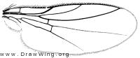 Diplotoxa versicolor, wing