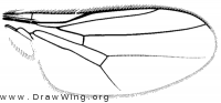 Trigonomma fossulatum, wing