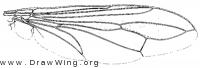 Physocephala texana, wing