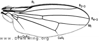 Latheticomyia tricolor, wing