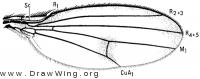 Diastata vagans, wing