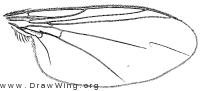 Asyndetus appendiculatus, wing