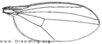 Thrypticus willistoni, wing