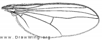 Hercostomus chetifer, wing