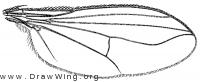 Paraclius minutus, wing