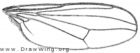 Hydrophorus intentus, wing