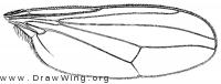 Hydrophorus intentus, wing