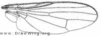 Heterocheila hannai, wing