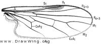 Meghyperus, wing