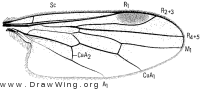 Syneches thoracicus, wing