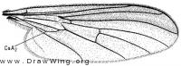 Rhamphomyia fumosa, wing