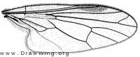 Iteaphila macquarti, wing