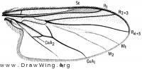 Bicellaria uvens, wing