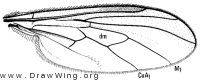 Leptopeza disparilis, wing