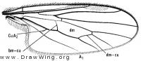 Euthyneura bucinator, wing