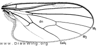 Anthalia lacteipennis, wing