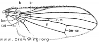 Tephrochlamys rufiventris, wing