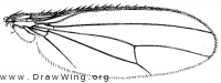 Lutomyia spurca, wing