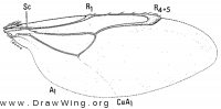 Neolipoptena ferrisi, wing
