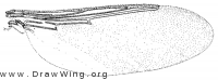 Icosta americana, wing