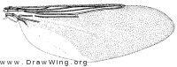 Pseudolynchia canariensis, wing