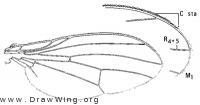 Minettia flaveola, wing